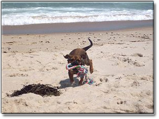 Nugget Training With A Rope on Nauset Beach